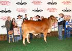 Chilton 4-H member Collin Kyle Parker captured Senior Champion Heifer and Grand Champion Heifer, 2020 Fort Worth Stock Show & Rodeo