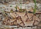 The copperhead is among four venomous snakes, including rattlesnakes, cottonmouths and coral snakes, that people should watch for while walking. Their pattern blends well with fallen leaves and debris on the ground. (Texas A&M AgriLife Extension photo by Maureen Frank)