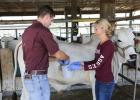 Ad graduate students, Merritt Drewery and Kyle Weldon, collect duodenal samples from a Brahman steer. (Texas A&M AgriLife photo)